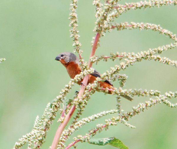 Ruddy-breasted Seedeater (Sporophilia minuta)