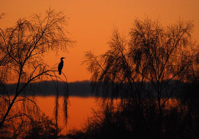 Cormorant at sunset2
