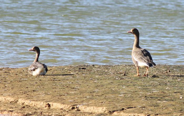 White-fronted Goose Tyttenhanger 1