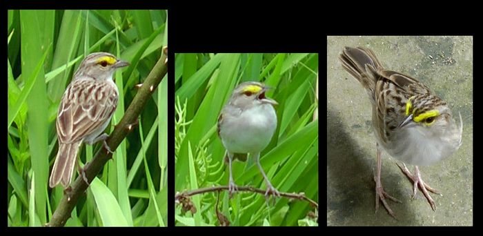 Yellow browed sparrow