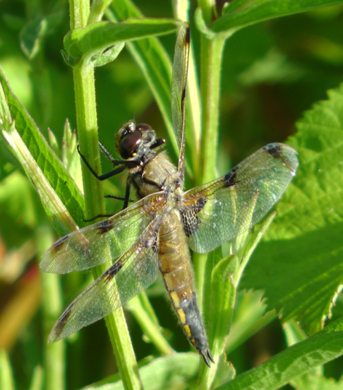 The Four Spotted Chaser dragonfly