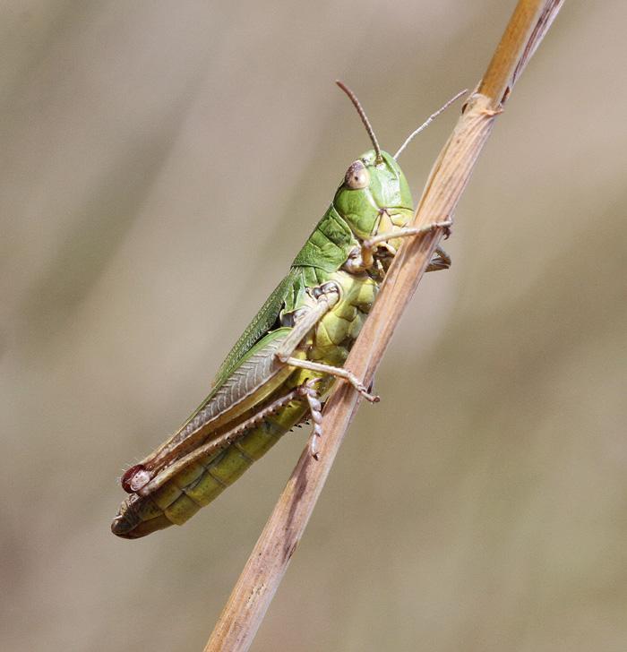 Grasshopper IMG_4581 - 2