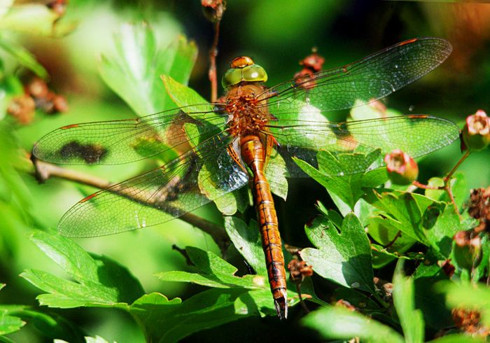 Norfolk Hawker  natural sharp 1024