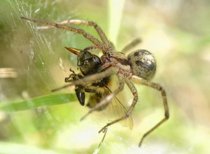 Spider bee1